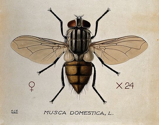 The housefly (Musca Domestica). Photo: Wikimedia Commons/ Wellcome Images.
