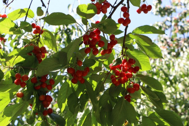 Cherries grow in dazzling bunches, beautifying the landscape of the orchard during the peak season.