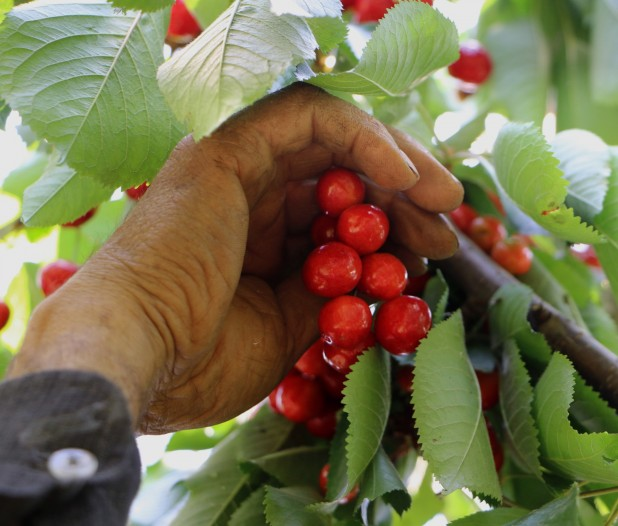 In cherry production, almost all the work must be done by hand, starting with the cherries being delicately picked off the branches.