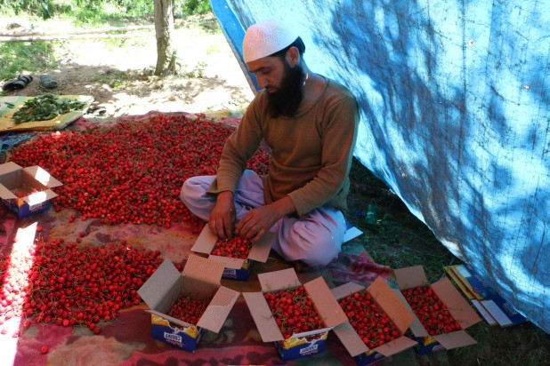Filling boxes with the harvested crop is not everyone's cup of tea and only a handful of experts are able to do it meticulously. Cherries have a ready market available both inside and outside Kashmir.
